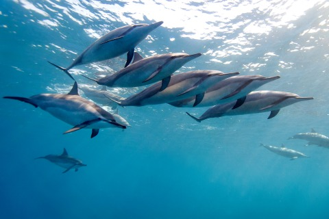 Feds Want to Ban Swimming With Hawaii Dolphins