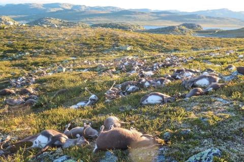 Freak Lightning Strike Kills Hundreds of Reindeer in Norway
