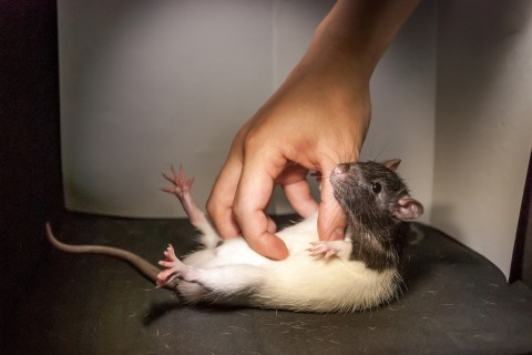 Ticklish Rats Giggle and Jump for Joy, According to New Research