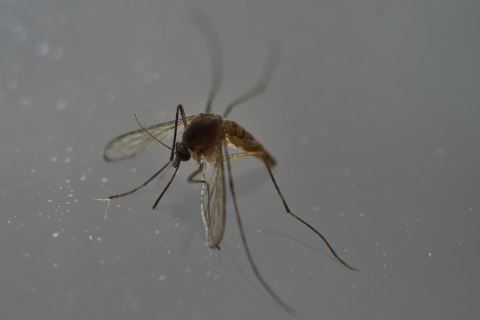 Mosquito Spit Vaccine Would Fight Malaria, Zika, West Nile, Too