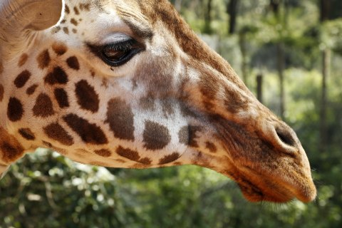 Giraffes Could Face 'Silent Extinction,' Conservationists Warn
