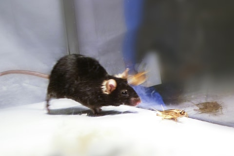 Killer Mice Show Where Hunting Instinct Starts in the Brain