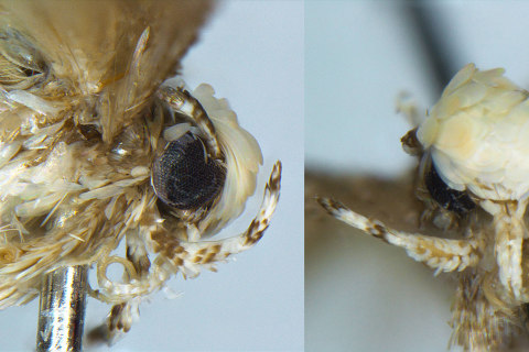 Tiny Moth Named for President-Elect Donald Trump