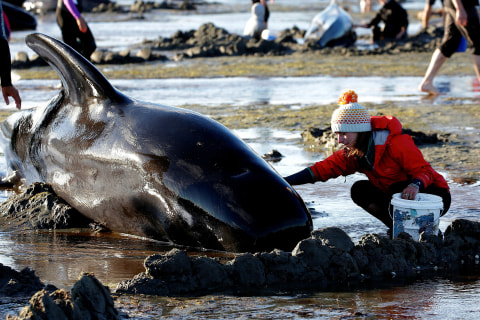Volunteers Race to Save Beached Whales After Hundreds Stranded
