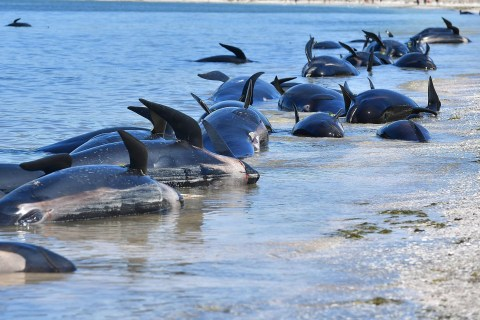 Volunteers in New Zealand Race to Save 17 Whales Stranded After 650 Beached