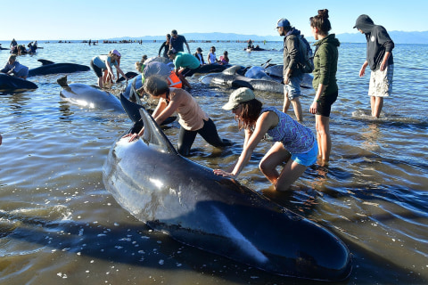 17 Pilot Whales Refloated After Hundreds Stranded on New Zealand Beach