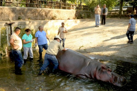 El Salvador Violence: Beloved Hippo 'Gustavito' Killed at Zoo
