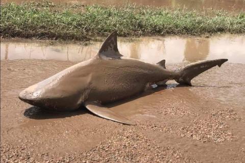 Real Sharknado? Cyclone Dumps Shark in Muddy Puddle
