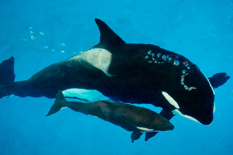 Kyara, Last Killer Whale Born in Captivity at a SeaWorld Park, Dies at 3-Months-Old