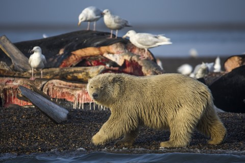 Polar Bears Find Sanctuary Near Alaskan Village