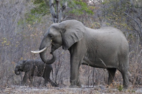 Zimbabwe can't manage its elephant population while in political upheaval, experts say