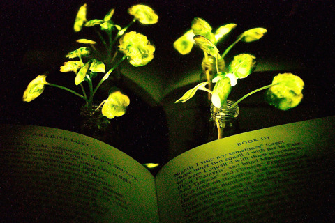Glow-in-the-dark plants put green energy in a whole new light