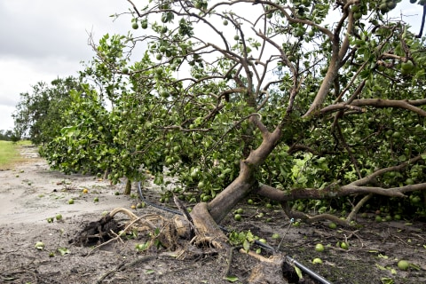 One-two punch of disease and Irma has left Florida citrus reeling