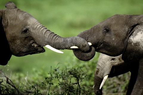 DNA fingerprints crack African ivory-smuggling cases