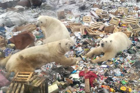 Russian islands declare emergency after polar bear 'invasion'