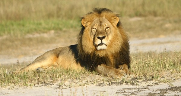 Cecil the Lion's Killer Should Be Extradited: Zimbabwe Minister