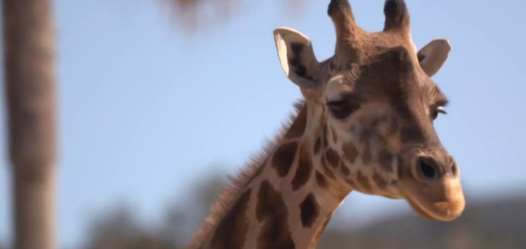 San Diego Zoo hopes to end extinction using frozen cells