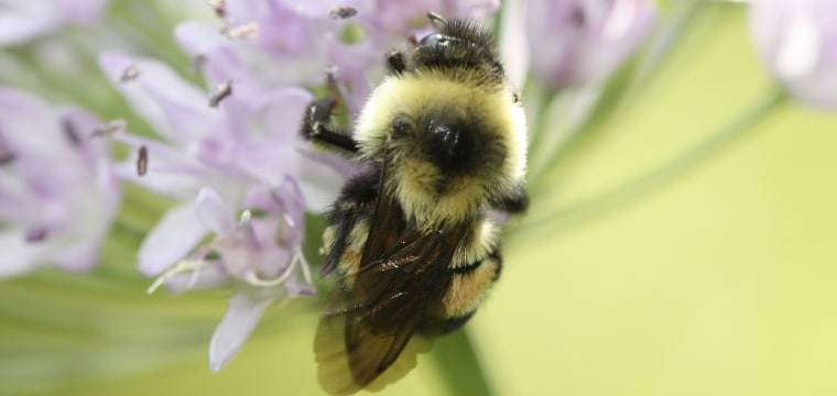 Bumble Bee Species Declared Endangered in the U.S. for First Time