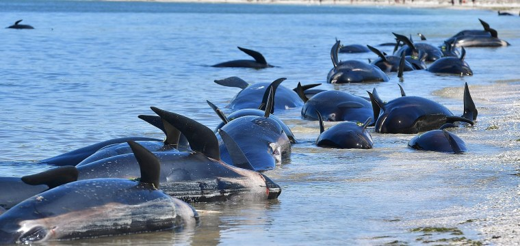 Whale Rescuers Disheartened as New Pod Beaches in New Zealand