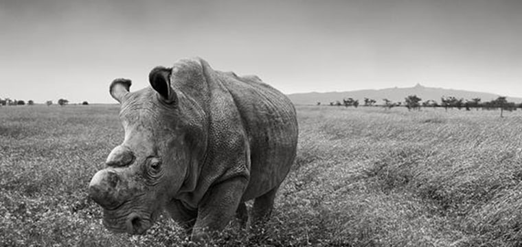 Desperate White Male Rhino Joins Tinder in Effort to Mate