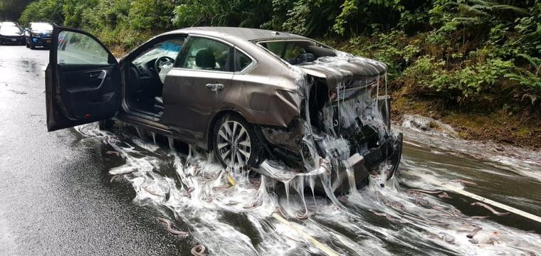 Slimed! Truck Spills Tons of Goo-Producing Eels