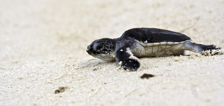 This population of green sea turtles is nearly all female, signalling a major problem