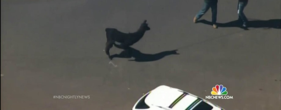 Llamas Lead Arizona Police on Chase Through Phoenix Suburbs