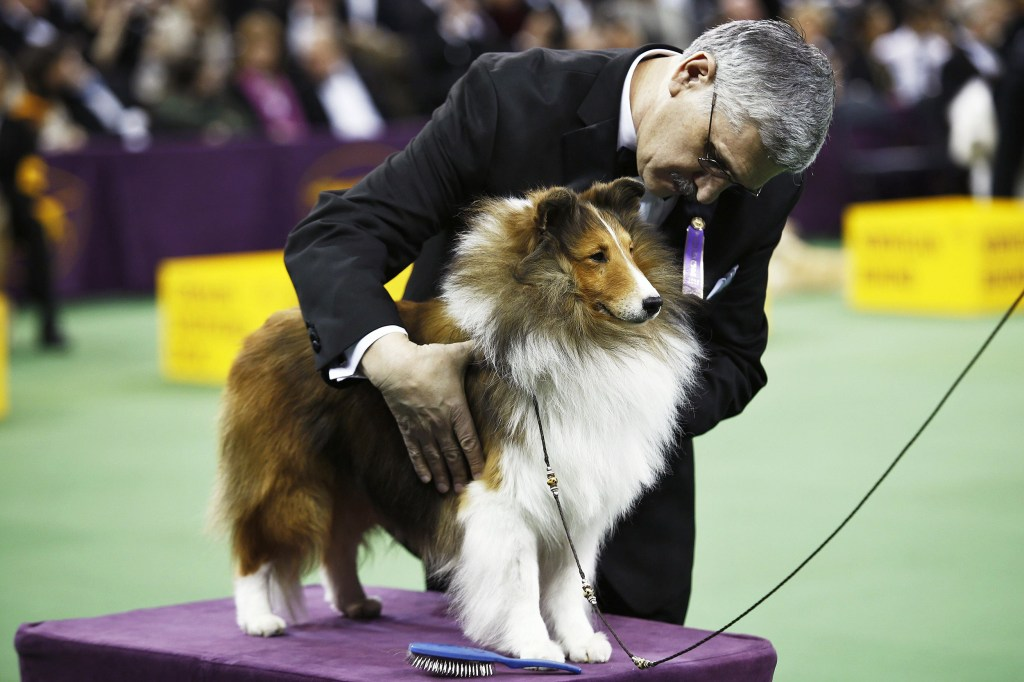 Grooming A Sheltie For The Show Ring