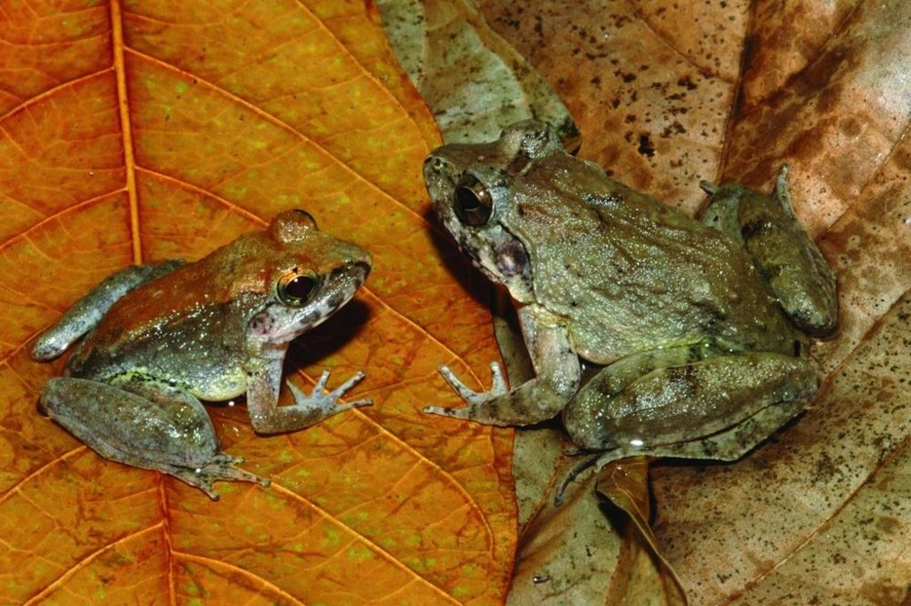 Image: Indonesian fanged frogs