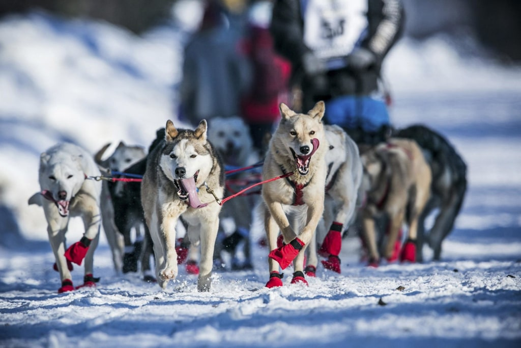 Image: Kristy Berington's dogs cool off with their tongues out during the official restart of the Iditarod dog sled race in Willow, Alaska