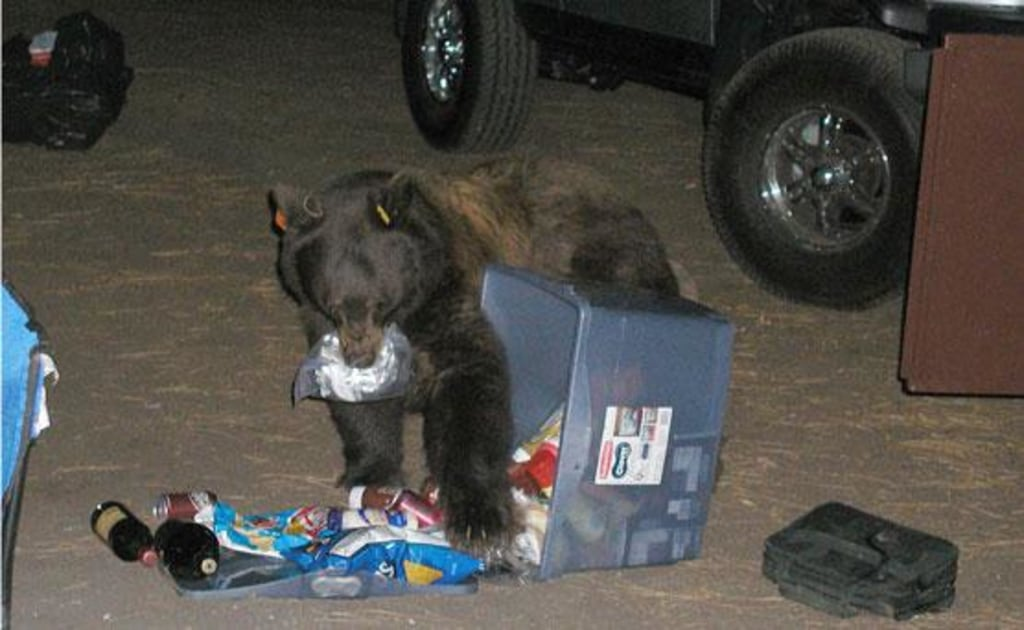 Image: This Yosemite bear is in a campsite eating food from an open locker.