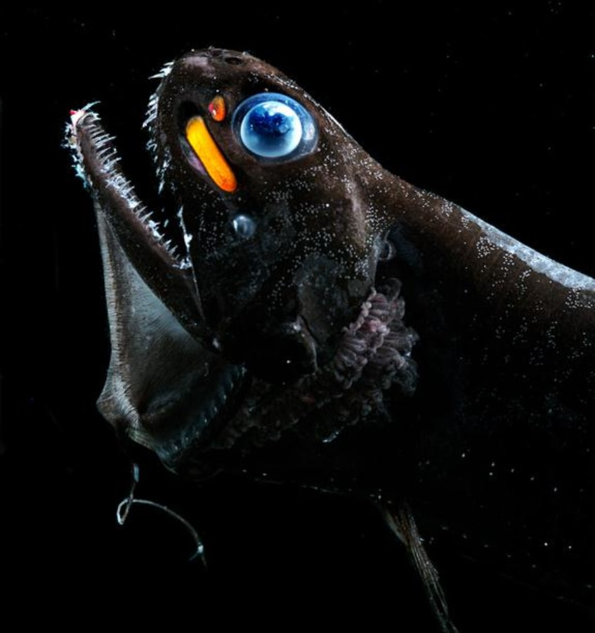 Dragon Fish Pictures | Dragon Fish Evolved To See Reds And Blues Nbc News