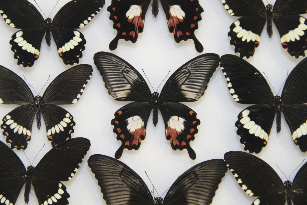 Image: Female common mormon butterfly