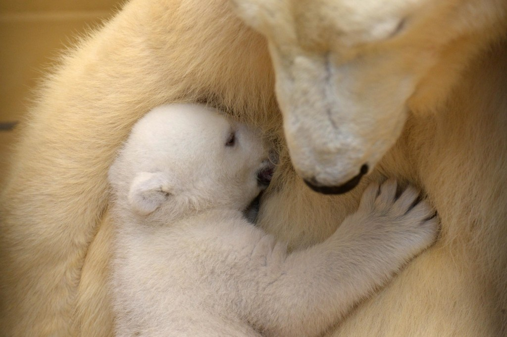 A polar bear cub at Bremerhaven zoo in northern Germany.