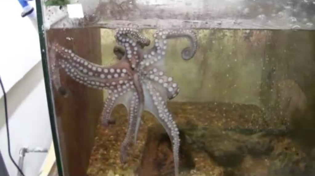 "Image: Octopus ""spaghetti holds"" its own amputated arm"
