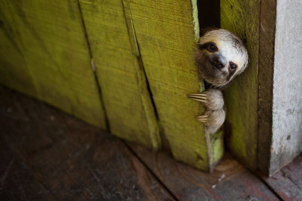 Image: A sloth peeks out from behind a door on a floating house in the 'Lago do Janauari' near Manaus, Brazil