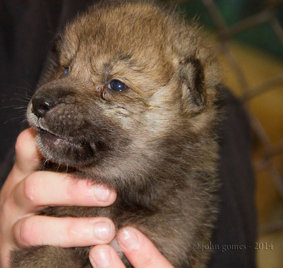 Image: An orphaned wolf pup now residing in the Alaska Zoo