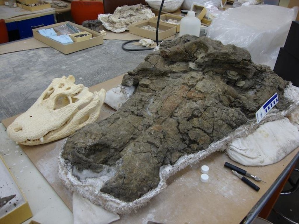 Image: A specimen of Anthracosuchus balrogus, a type of crocodilian, next to alligator skull
