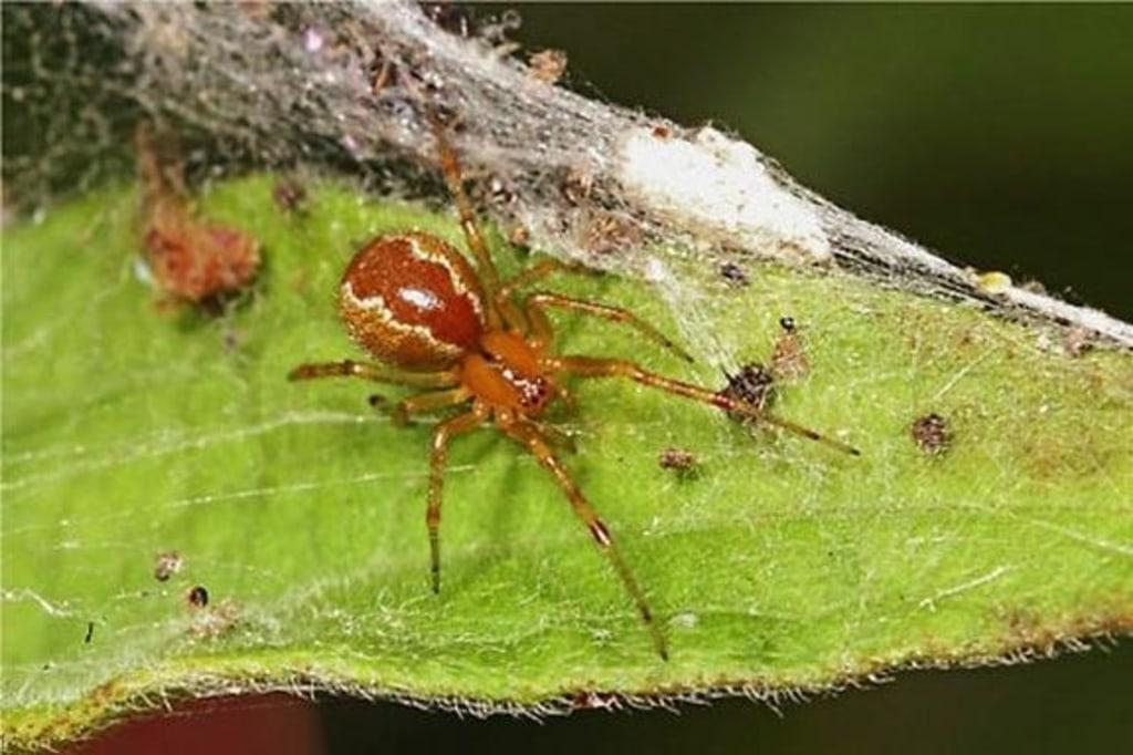 Social spider Anelosimus studiosus.