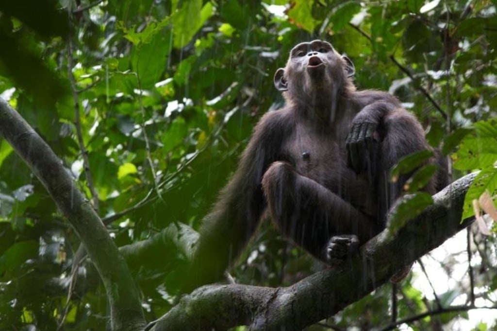 Image: Chimp in tree