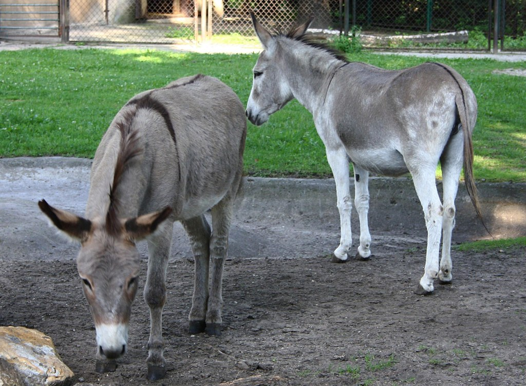 Donkeys Napoleon, left, and Antosia, stand near each other at a zoo in Poznan, Poland