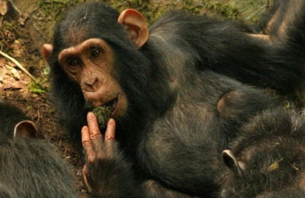 Image: Sonso chimpanzee