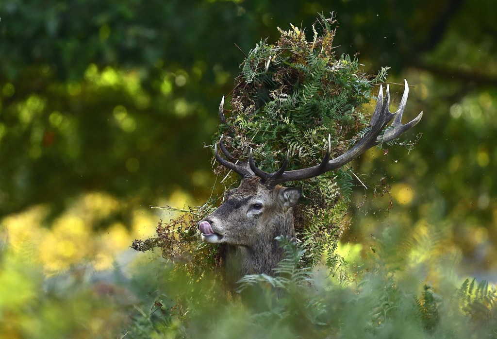 Image: A male red deer