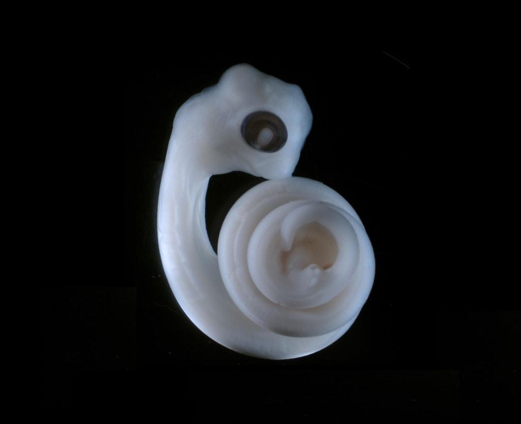 Image: Python embryo