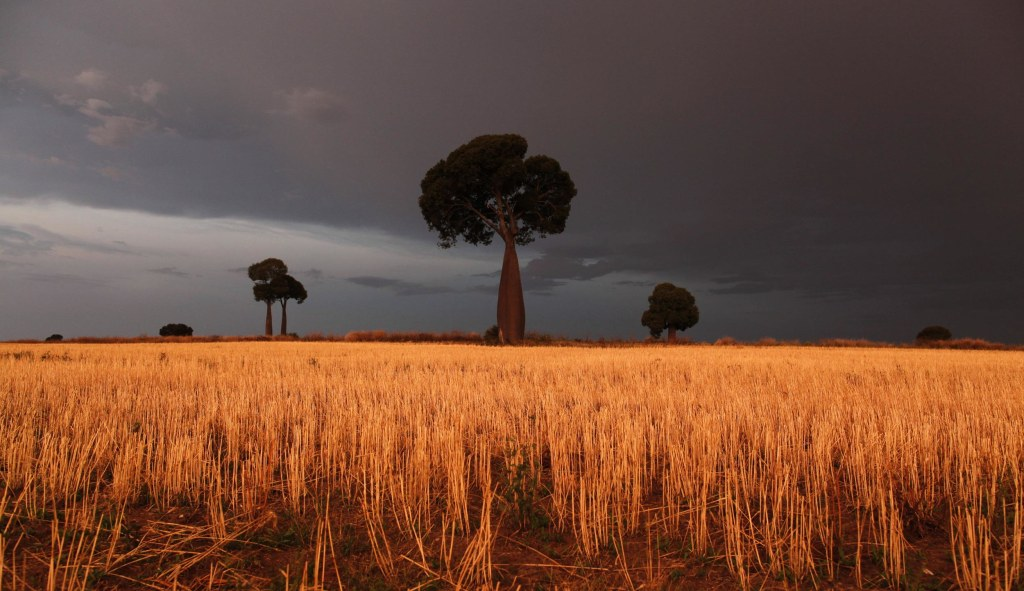 Image: Freshly cut wheat stands under approaching storm clouds near Roma, Australia