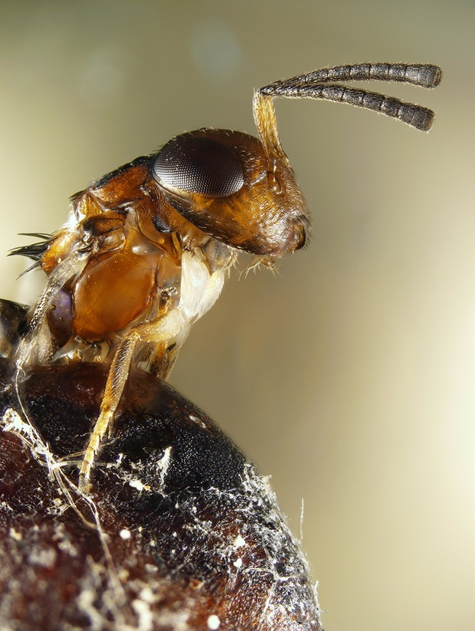 Image: A wasp emerges from a scale insect cavity
