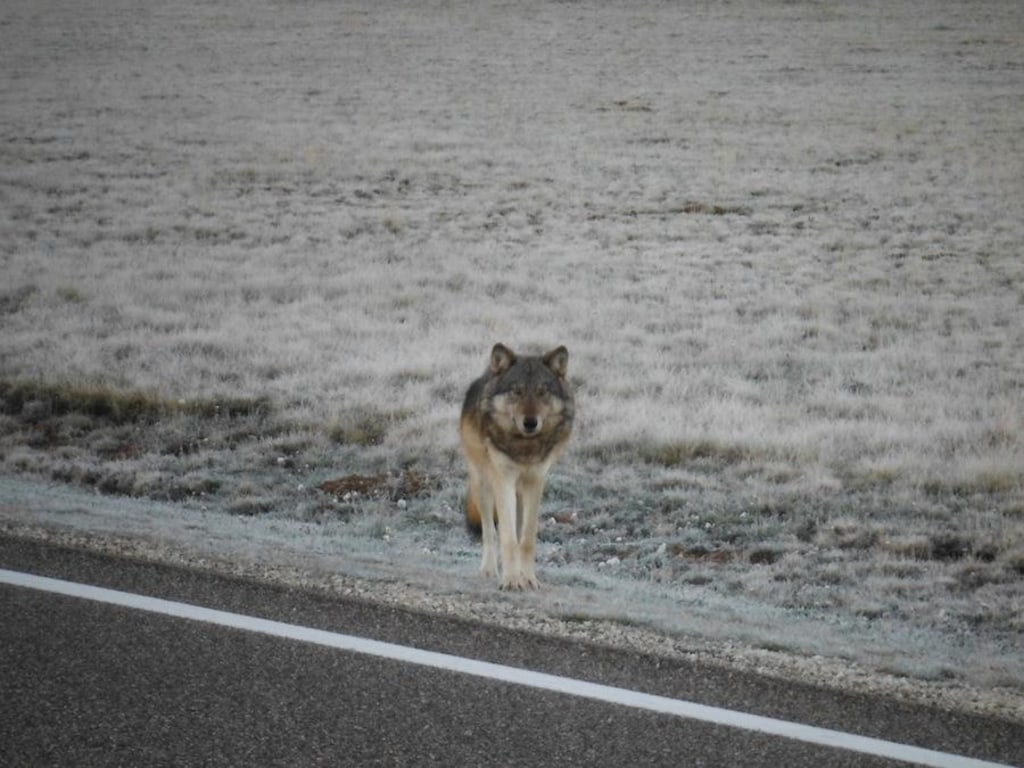 Image: Grand Canyon wolf