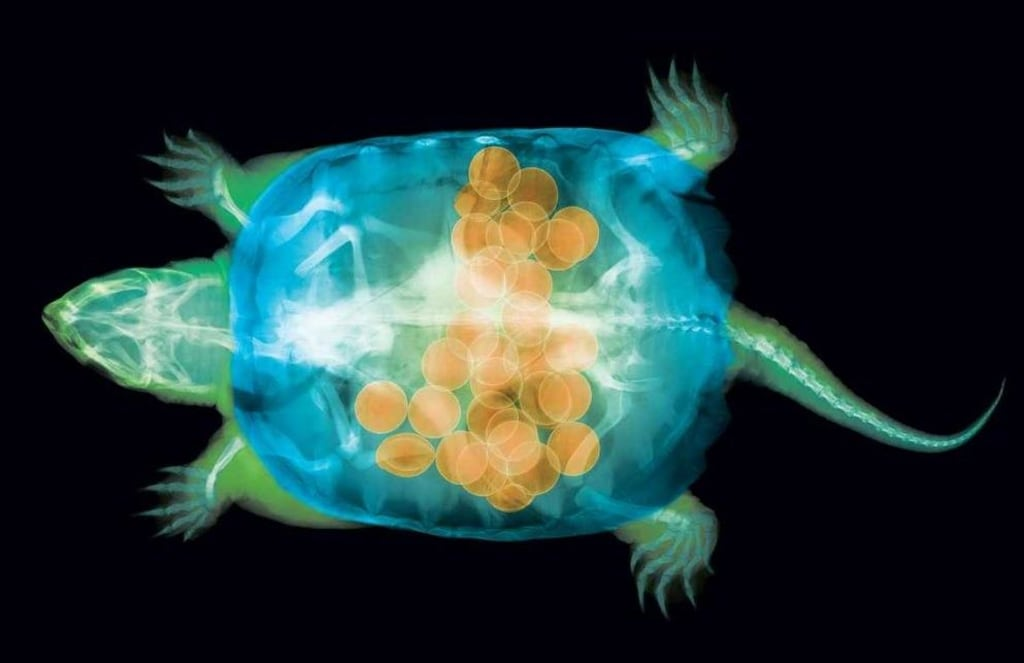 Image: X-ray turtle