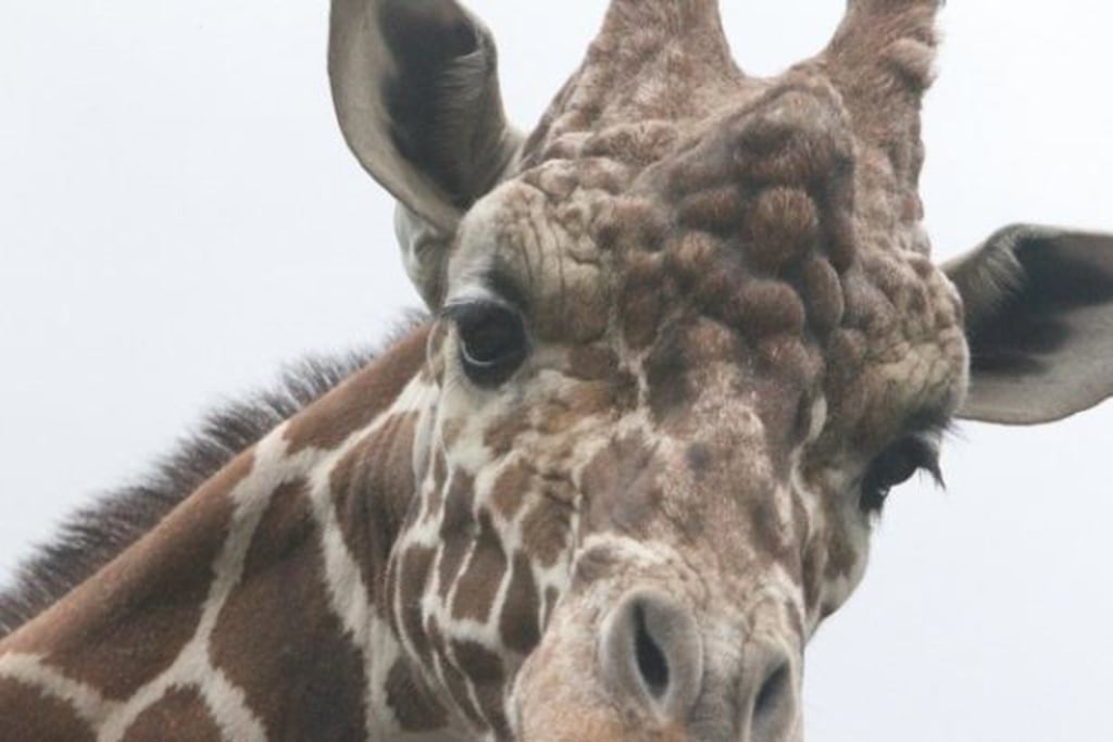Image: Giraffe lashes
