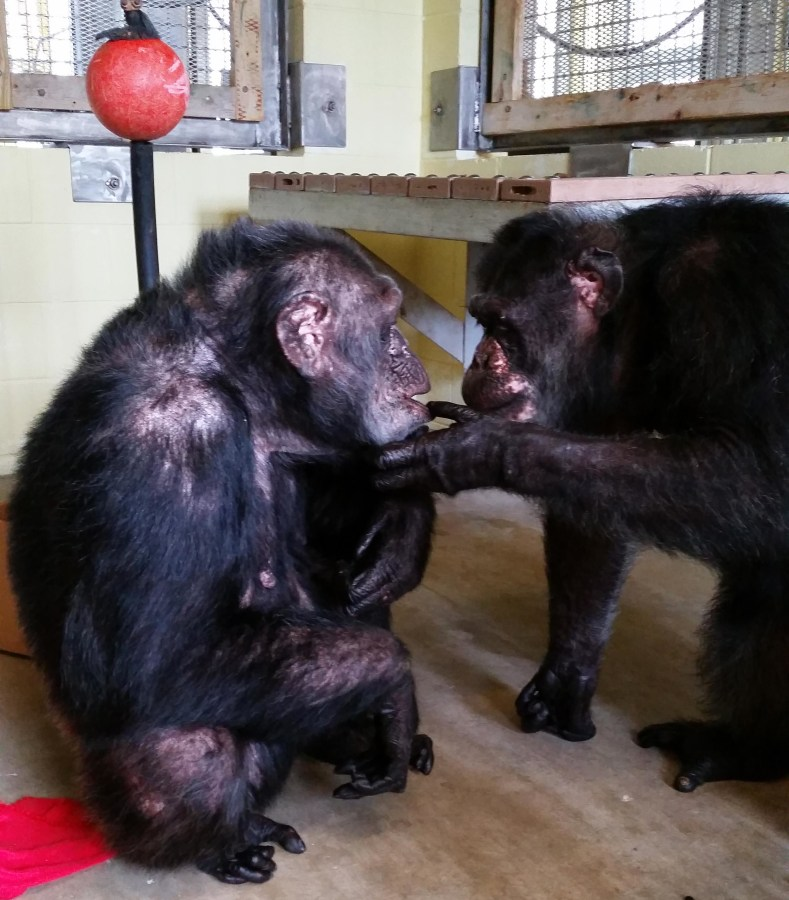 Image: Iris, who did not have any chimp friends at a Georgia zoo, meets her new friend Abdul at the Florida sanctuary she now calls home.